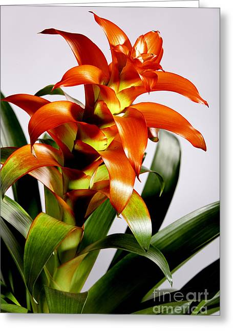 Flowers Stretched Prints Greeting Cards - Orange FLower Plant Greeting Card by M K  Miller