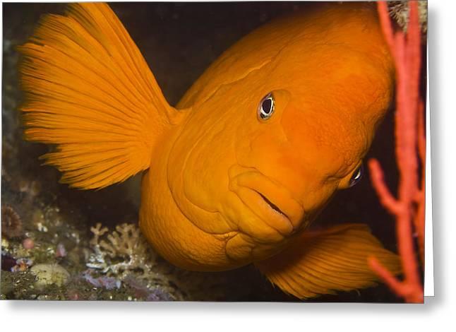 Orange Garibaldi Greeting Card by Mike Raabe