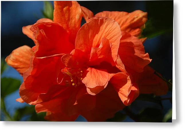 Orange Hibiscus Greeting Card by Aimee L Maher Photography and Art Visit ALMGallerydotcom