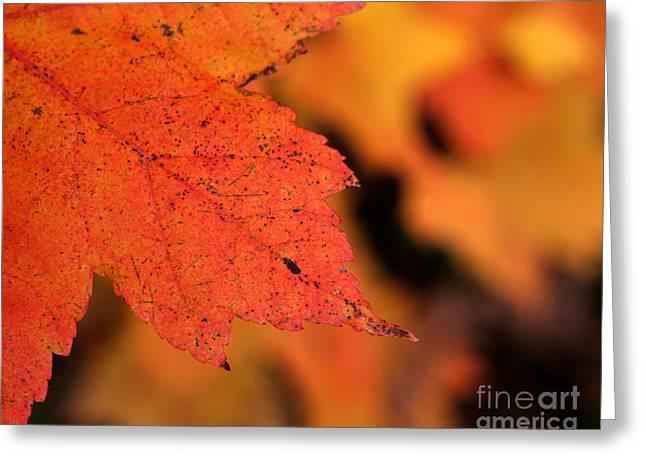 Chris Hill Greeting Cards - Orange Maple Leaf Greeting Card by Chris Hill