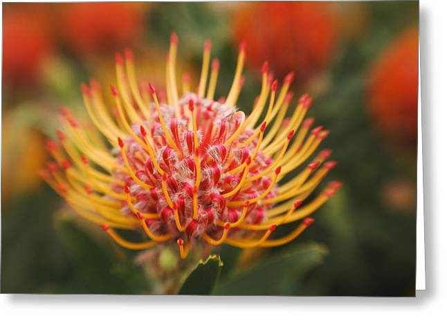 Orange Pin Cushion Greeting Cards - Orange Pin Cushion Protea Greeting Card by Ron Dahlquist - Printscapes