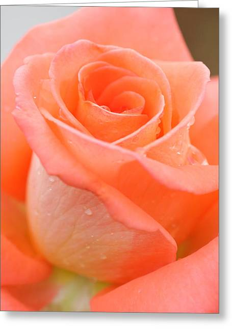 Occasion Greeting Cards - Orange Rose Greeting Card by Atiketta Sangasaeng