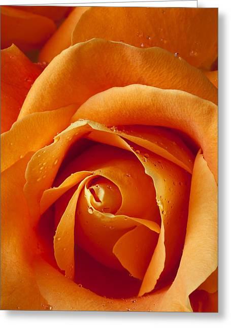 Orange Rose Greeting Cards - Orange Rose Close Up Greeting Card by Garry Gay