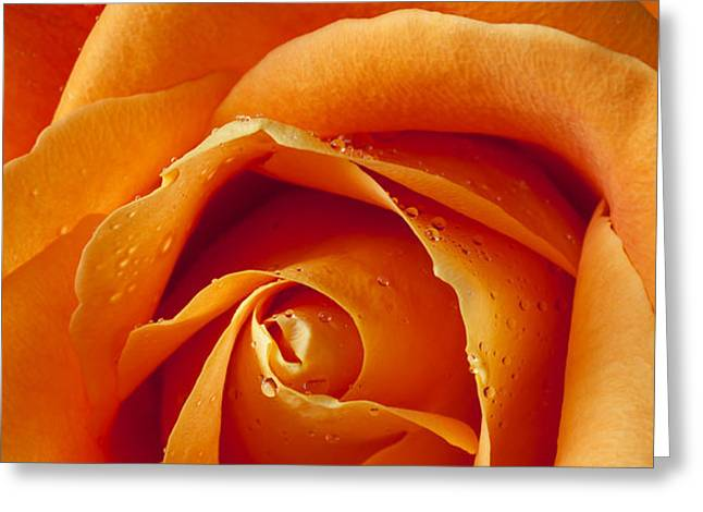 Orange Rose Close Up Greeting Card by Garry Gay