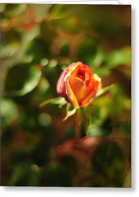 Dappled Light Greeting Cards - Orange Rosebud Greeting Card by Rebecca Sherman