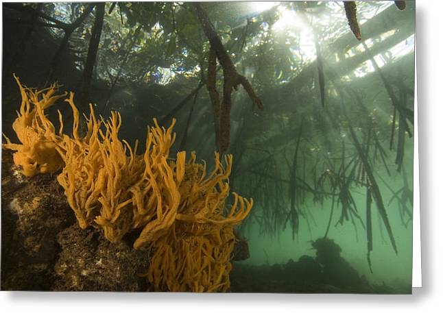Orange Sponges Grow Greeting Card by Tim Laman