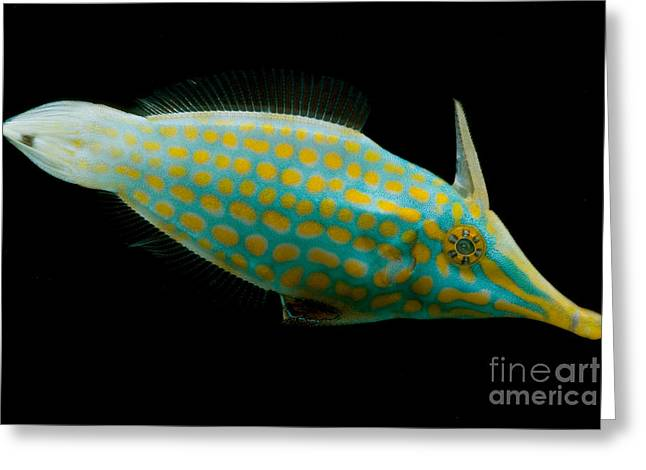 Reef Fish Greeting Cards - Orange Spotted Filefish Greeting Card by Danté Fenolio