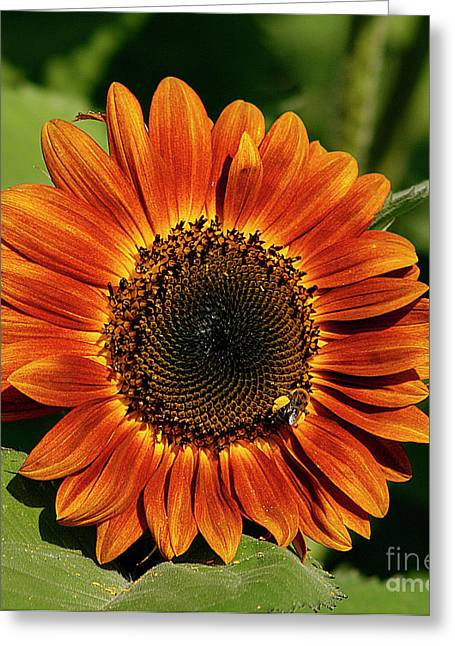 Cindi Ressler Greeting Cards - Orange Sunflower Greeting Card by Cindi Ressler