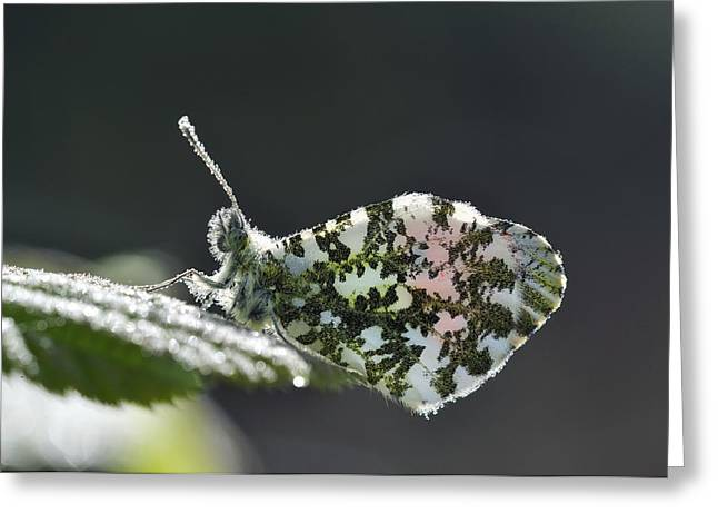 Dewdrops Greeting Cards - Orange Tip Butterfly Covered In Dew Greeting Card by Colin Varndell