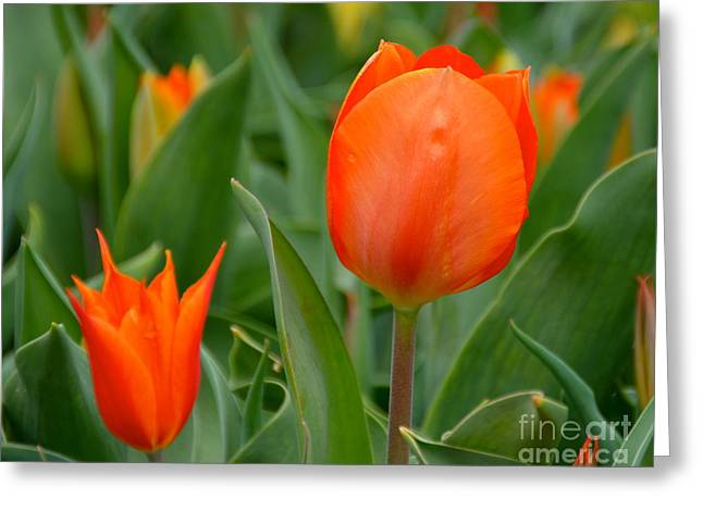 Green Foliage Greeting Cards - Orange Tulips Greeting Card by Debbi Granruth