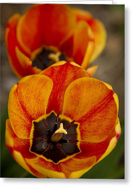 Museum Quality Greeting Cards - Orange Tulips Greeting Card by James BO  Insogna