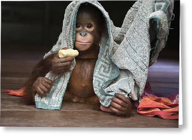 Threatened Species Greeting Cards - Orangutan 2yr Old Infant Holding Banana Greeting Card by Suzi Eszterhas