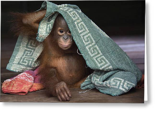 Orang-utan Greeting Cards - Orangutan 2yr Old Infant Playing Greeting Card by Suzi Eszterhas