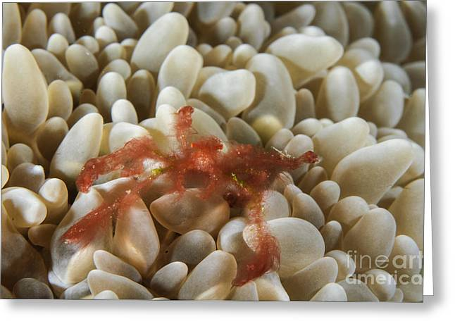 Malacostraca Greeting Cards - Orangutan Crab On Bubble Coral Greeting Card by Todd Winner