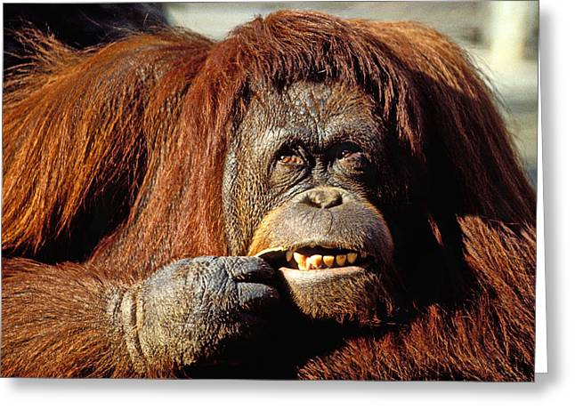 Ape Greeting Cards - Orangutan  Greeting Card by Garry Gay