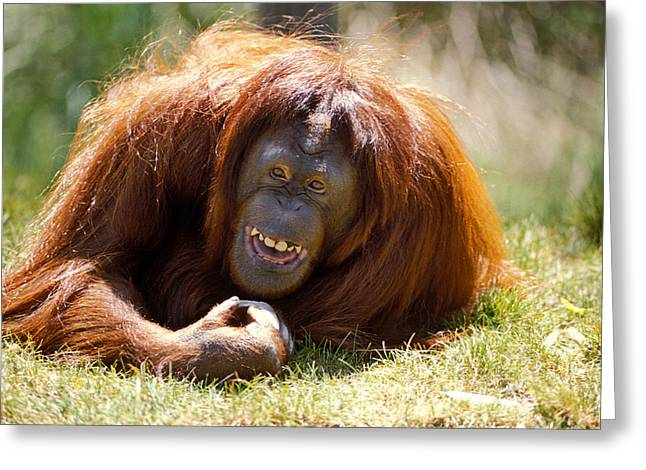Ape Greeting Cards - Orangutan In The Grass Greeting Card by Garry Gay