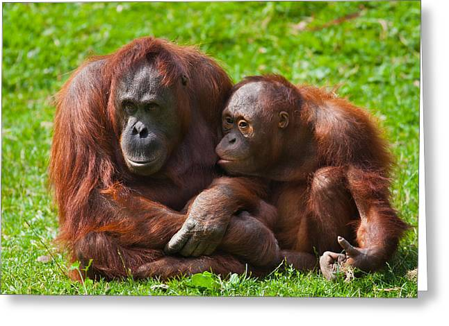 Caring Mother Greeting Cards - Orangutan mother and child Greeting Card by Gabriela Insuratelu