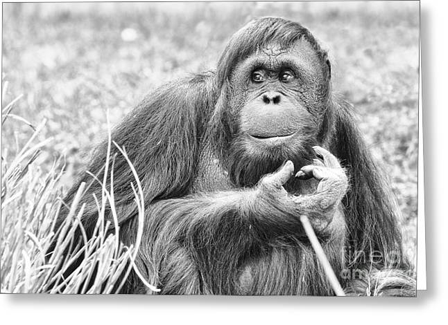 Orangutans Greeting Cards - Orangutan Greeting Card by Scott Hansen