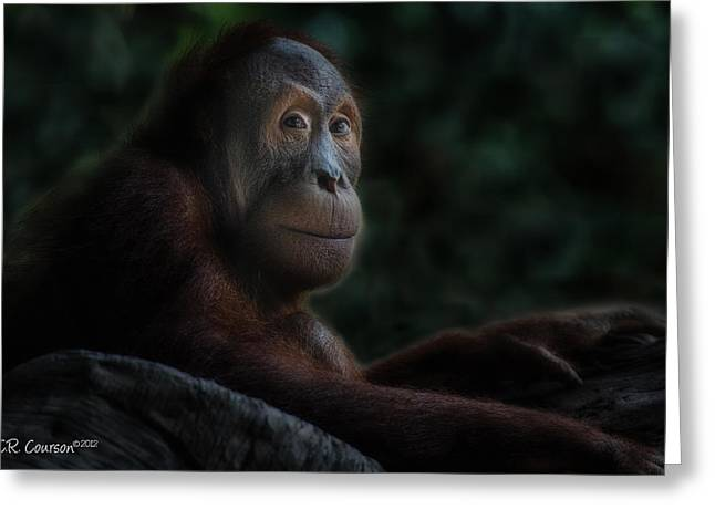 Courson Greeting Cards - Orangutan Session Greeting Card by CR  Courson