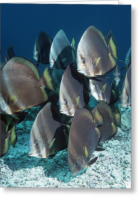 Spadefish Greeting Cards - Orbicular Spadefish Greeting Card by Georgette Douwma