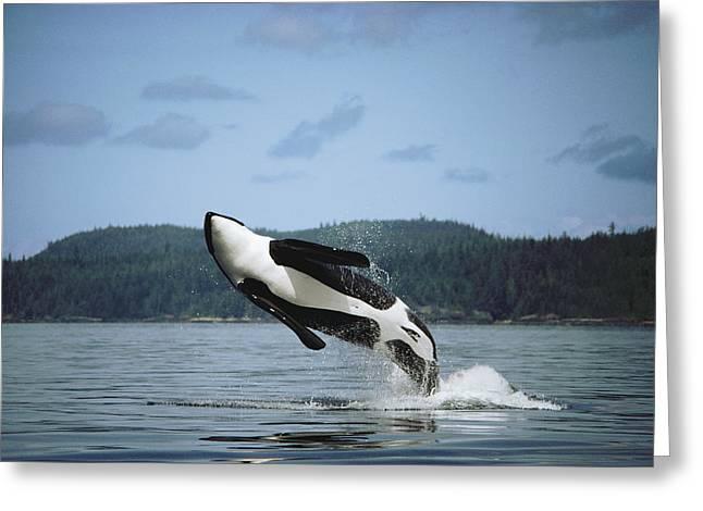 Botskop Greeting Cards - Orca Male Breaching Johnstone Strait Greeting Card by Flip Nicklin
