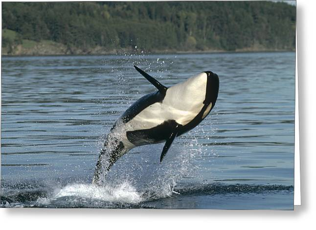 Delphinidae Greeting Cards - Orca Orcinus Orca Breaching Greeting Card by Gerry Ellis