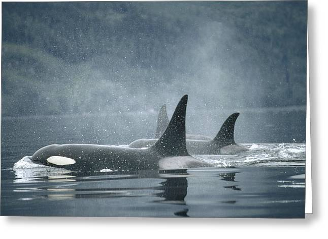 Atlantic Killer Whale Greeting Cards - Orca Orcinus Orca Group Surfacing Greeting Card by Flip Nicklin