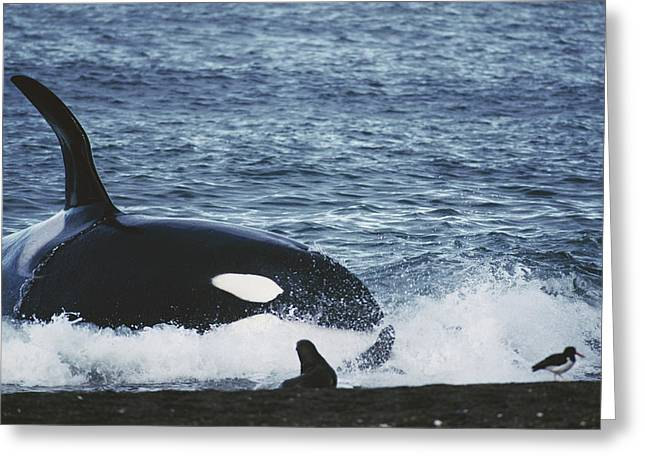 Atlantic Killer Whale Greeting Cards - Orca Orcinus Orca Hunting South Greeting Card by Hiroya Minakuchi