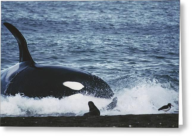 Botskop Greeting Cards - Orca Orcinus Orca Hunting South Greeting Card by Hiroya Minakuchi