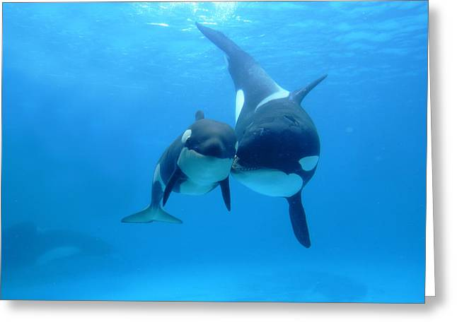 Aquariums Greeting Cards - Orca Orcinus Orca Mother And Newborn Greeting Card by Hiroya Minakuchi