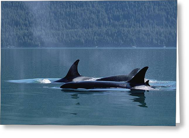Atlantic Killer Whale Greeting Cards - Orca Orcinus Orca Pod Surfacing, Inside Greeting Card by Konrad Wothe