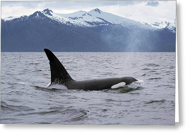 Delphinidae Greeting Cards - Orca Orcinus Orca Surfacing Greeting Card by Konrad Wothe