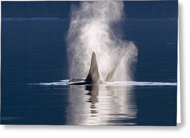 Delphinidae Greeting Cards - Orca Pair Spouting Southeast Alaska Greeting Card by Flip Nicklin