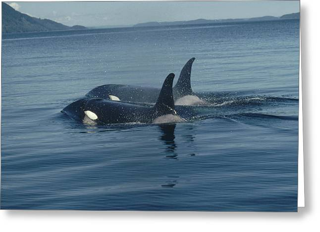 Botskop Greeting Cards - Orca Pair Surfacing British Columbia Greeting Card by Flip Nicklin