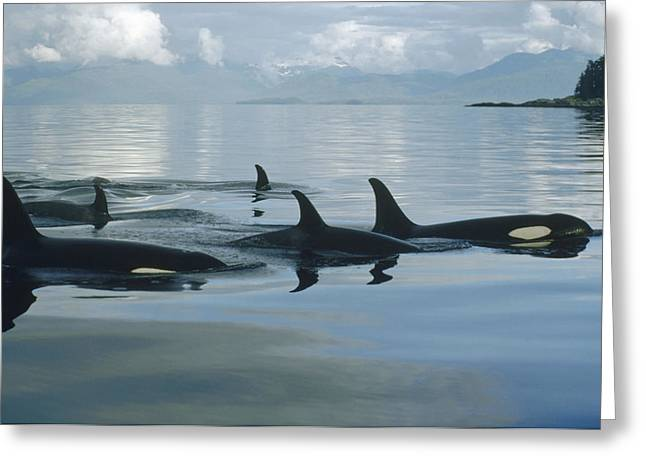 Animals and Earth - Greeting Cards - Orca Pod Johnstone Strait Canada Greeting Card by Flip Nicklin