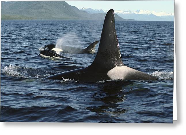Delphinidae Greeting Cards - Orca Pod Surfacing Johnstone Strait Greeting Card by Flip Nicklin