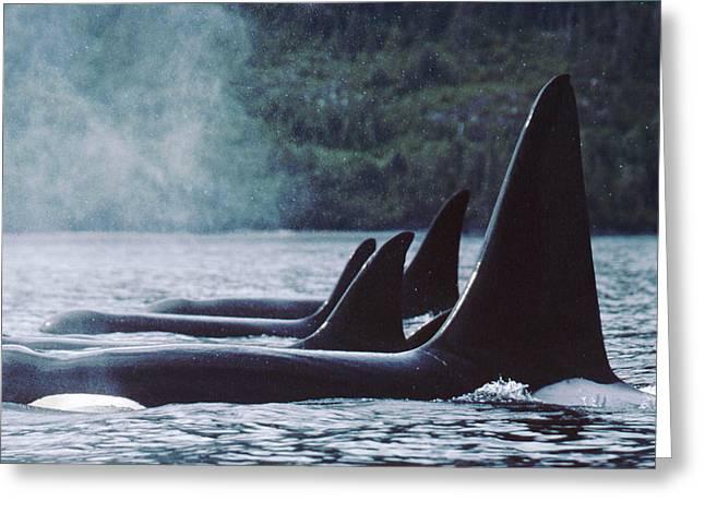 Botskop Greeting Cards - Orcas At Rest  Johnstone Strait British Greeting Card by Flip Nicklin