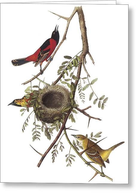 Oriole Greeting Cards - Orchard Oriole Greeting Card by John James Audubon