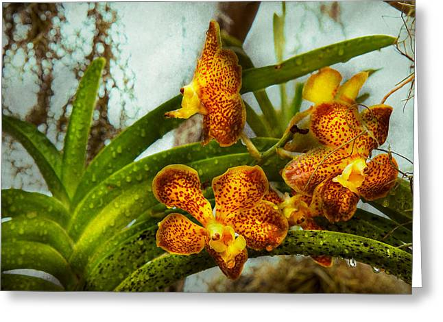 Cattleya Greeting Cards - Orchid - Oncidium - Ripened   Greeting Card by Mike Savad