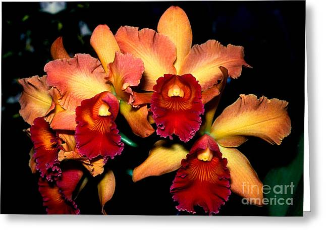 Cattleya Greeting Cards - Orchid 1 Greeting Card by Terry Elniski