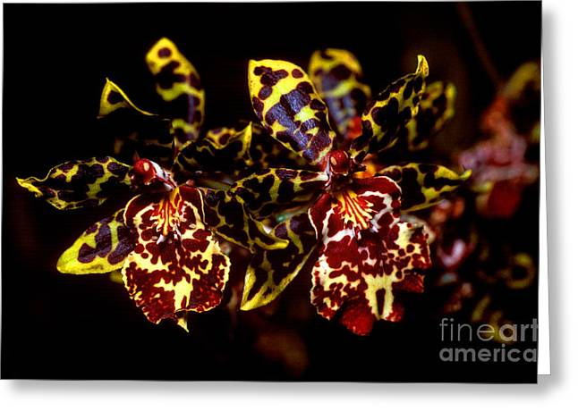 Cattleya Greeting Cards - Orchid 2 Greeting Card by Terry Elniski