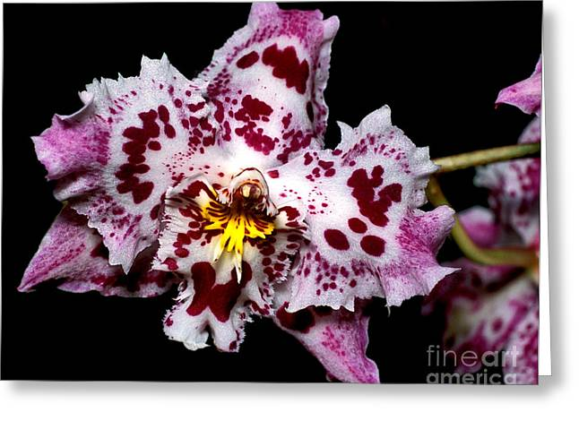 Cattleya Greeting Cards - Orchid 20 Greeting Card by Terry Elniski
