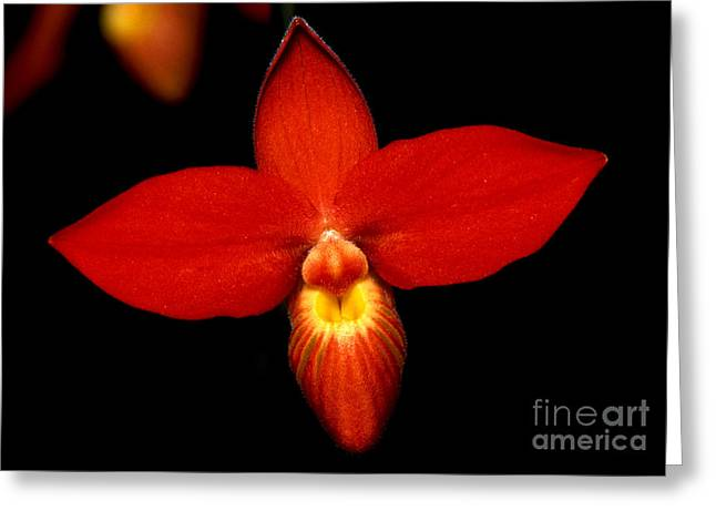 Cattleya Greeting Cards - Orchid 21 Greeting Card by Terry Elniski
