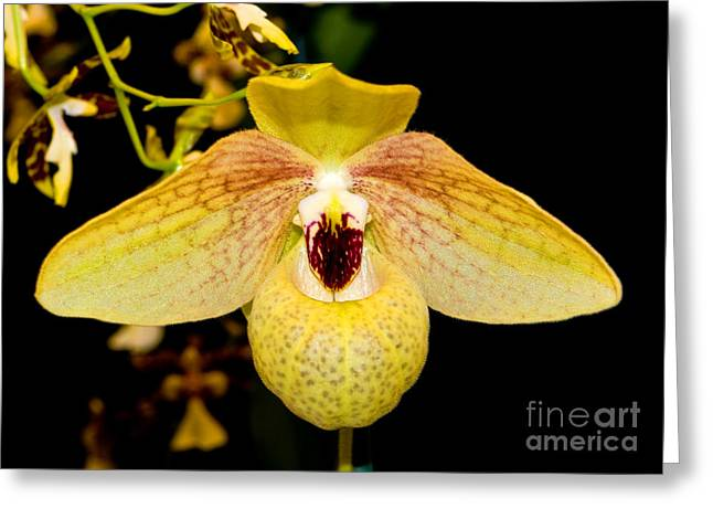 Cattleya Greeting Cards - Orchid 23 Greeting Card by Terry Elniski