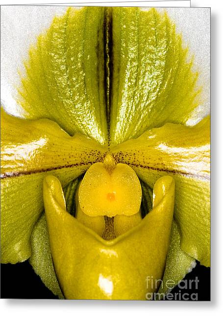 Cattleya Greeting Cards - Orchid 32 Greeting Card by Terry Elniski