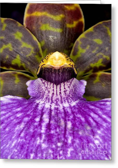 Cattleya Greeting Cards - Orchid 37 Greeting Card by Terry Elniski