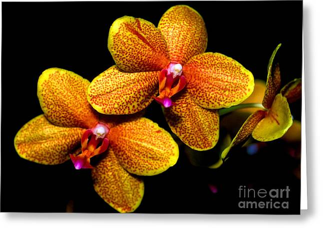 Cattleya Greeting Cards - Orchid 58 Greeting Card by Terry Elniski