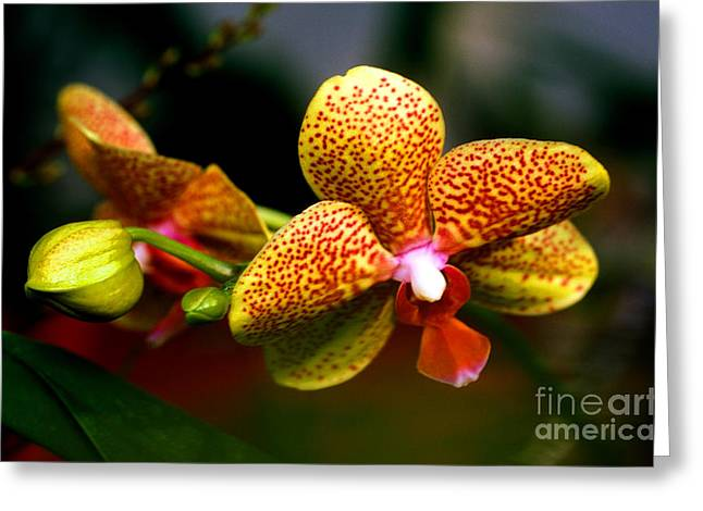 Cattleya Greeting Cards - Orchid 60 Greeting Card by Terry Elniski