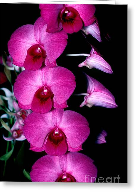 Cattleya Greeting Cards - Orchid 8 Greeting Card by Terry Elniski