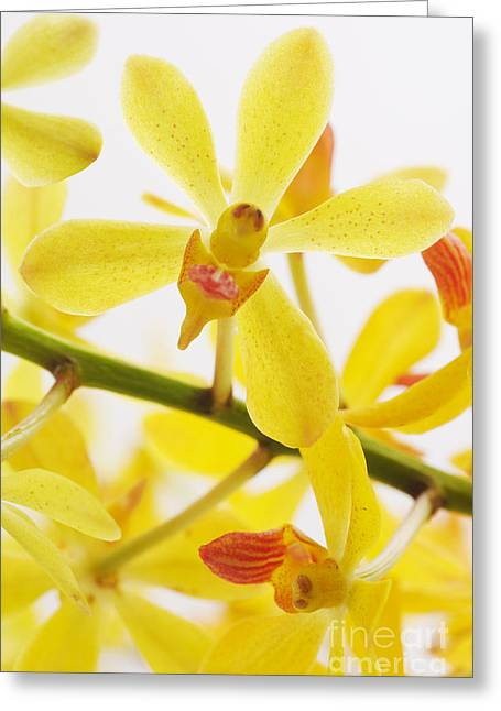 Orchid Greeting Card by Atiketta Sangasaeng